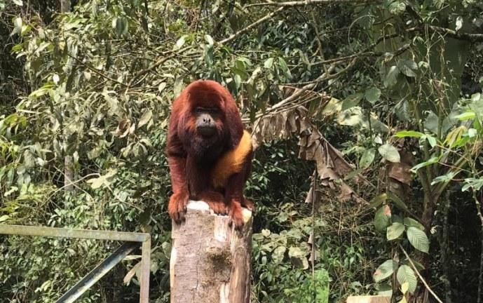 Mono aullador encontrado en zona rural de Vijes fue entregado a la CVC