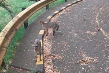 Zorros cañeros fueron captados en el Parque del Amor, norte de Cali, en plena cuarentena