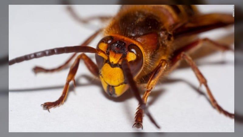 Crece preocupación por aparición de avispones gigantes que ponen en riesgo la vida de los humanos y las abejas