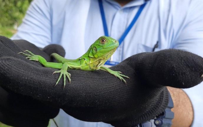 Liberan 30 iguanas bebés en zona rural de Cartago. Los reptiles fueron rescatados de algunos parques