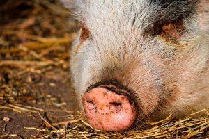 Extreman medidas en China tras detectar una nueva cepa de la gripe porcina