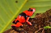 79 ranas venenosas regresan a su entorno natural gracias a equipo de CVC, Univalle y Parques Naturales