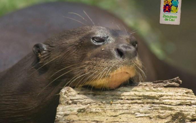CVC dona alevinos para alimentar a animales del Zoológico de Cali durante pandemia