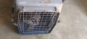 tigrillo-fue-rescatado-por-la-policia-ambiental-03-08-2020