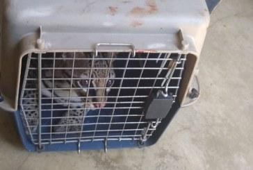 Tigrillo hallado en una vivienda en el sur de Cali fue rescatado