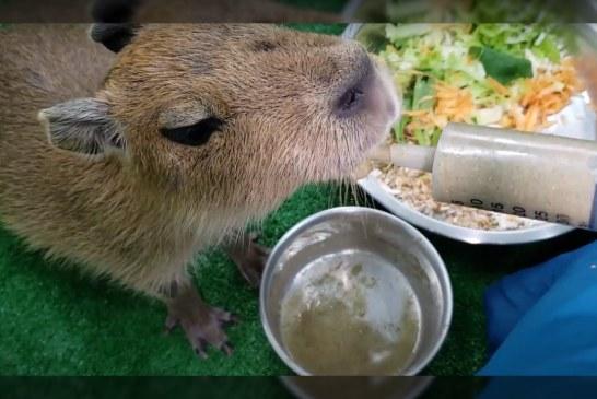 Cría de chigüiro recibe crianza asistida por parte del Zoológico de Cali