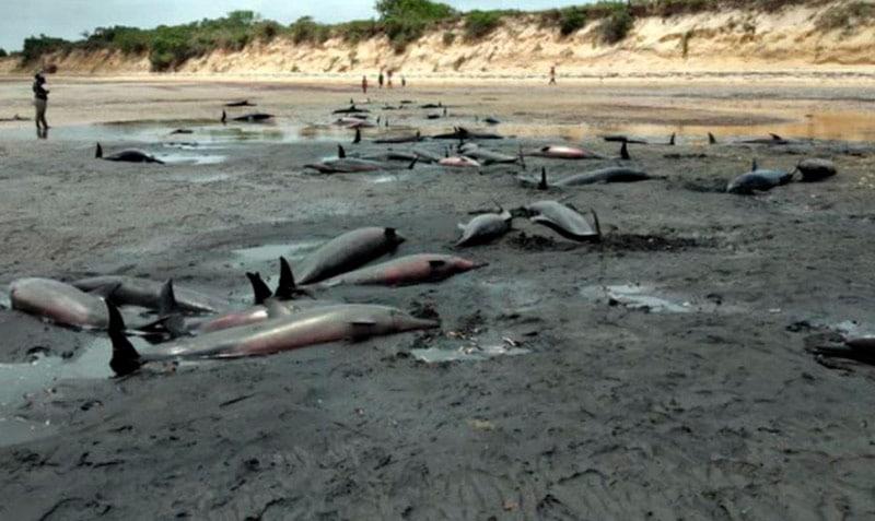 Hallan más de 100 delfines muertos en el sur de Mozambique