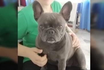 Perrita de raza bulldog murió por asfixia cuando la transportaban de Medellín a Cali