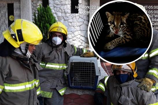 Video: Bomberos de Cali rescataron un joven tigrillo en casa de El Ingenio