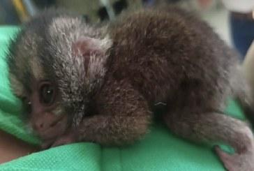 Mono nocturno recién nacido fue rescatado en Riofrío