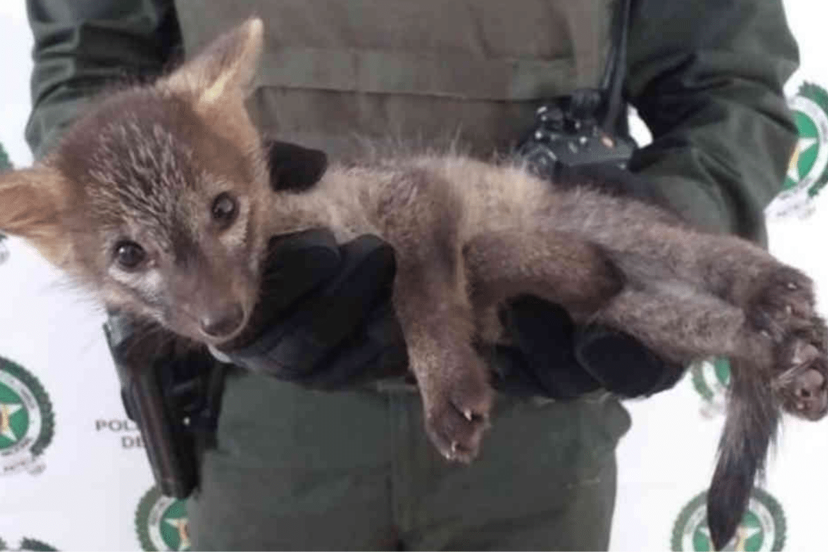 El zorro cañero y la zarigüeya, los más afectados por atropellamiento