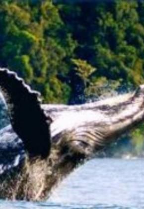 Esperan que llegada de ballenas al pacífico contribuya a economía del Valle