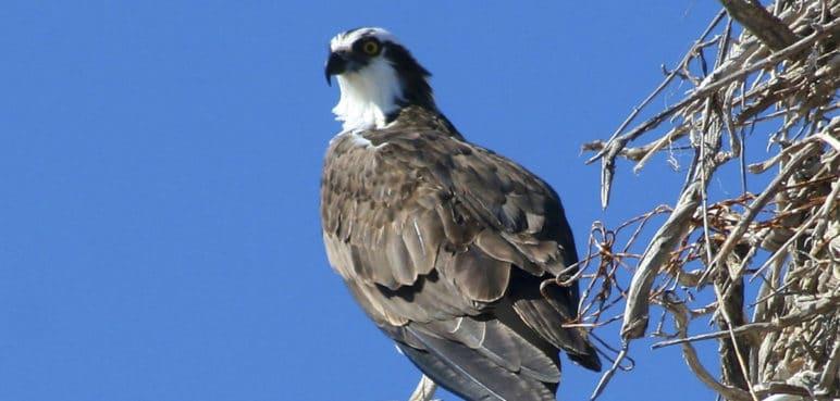 La CVC trata de salvar a un águila pescadora herida con perdigones en Buga